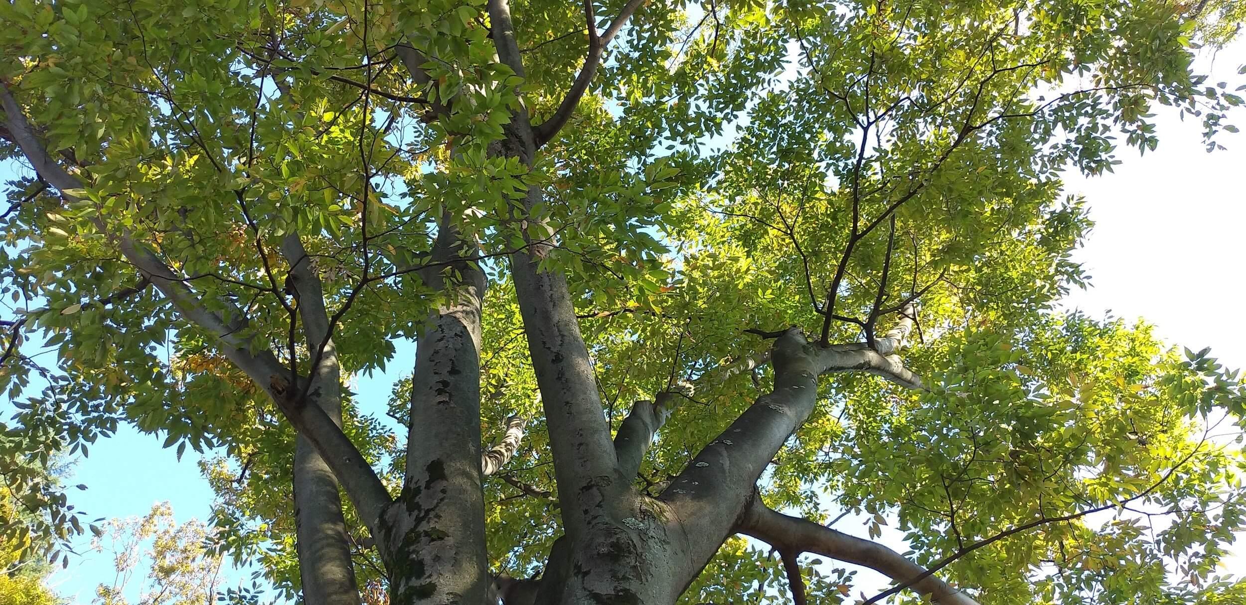 無垢材の代表的な樹種